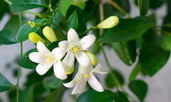 Мурая – нежна бяла красота в дома
