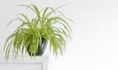 Ползите за дома от растението зелена лилия (хлорофитум)