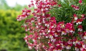 Немезия – най-цветното балконско цвете