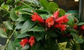 Есхинантус – тропическа красота в ярки цветове