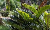 Замия – красива палма в дома