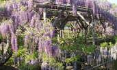 Вистерия или глициния – увивна красавица с прелестни цветове