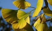 Гинко билоба помага при главоболие и забавя стареенето