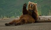 Любопитни факти за мечките