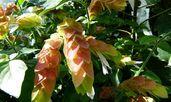Белопероне – красив храст с интересни цветове