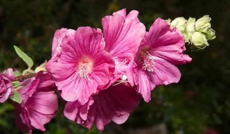 Лаватера – нежност и красота в едно